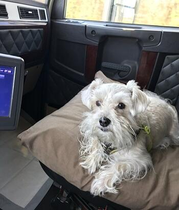 Brutus, a mini schnauzer, sits in passenger seat of Dawain's truck